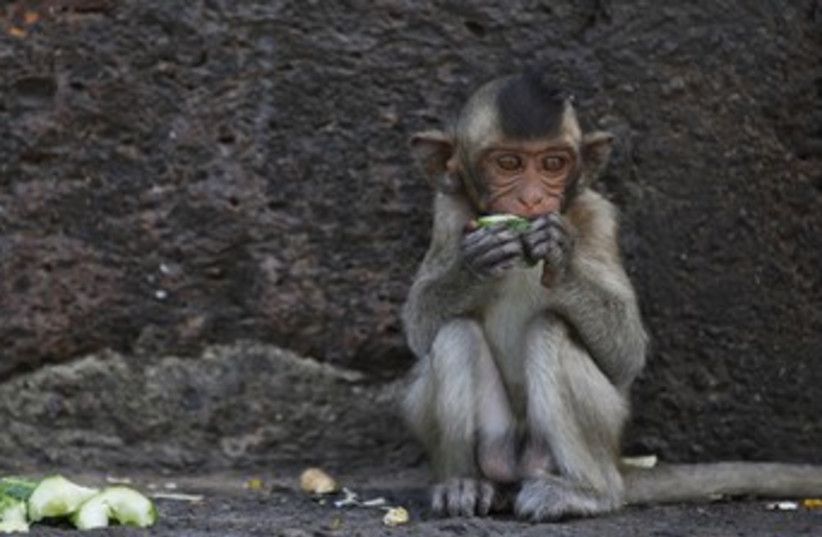 Baby long-tailed macaque monkey R (photo credit: reuters)