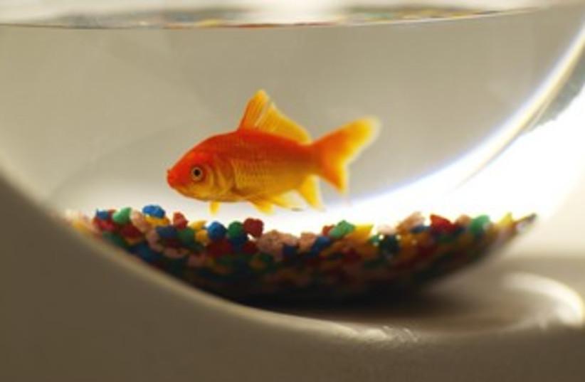 goldfish in a bowl 370 (photo credit: Thinkstock/Imagebank)
