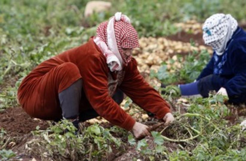 Palestinian potato farmers 370 (R) (photo credit:  REUTERS/Abed Omar Qusini)