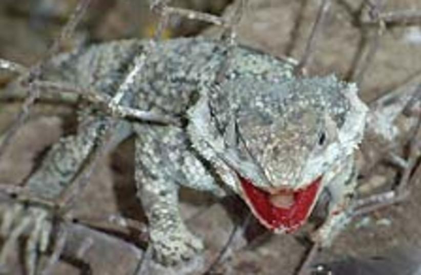 lizard 88 224 (photo credit: Courtesy)