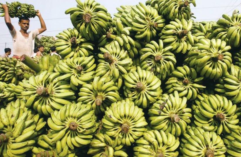 Banana plantations 521 (photo credit: REUTERS)