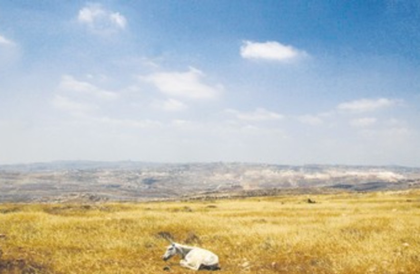 DONKEY rests near the Ramat Migron outpost 370 (photo credit: Ronen Zvulun/Reuters)