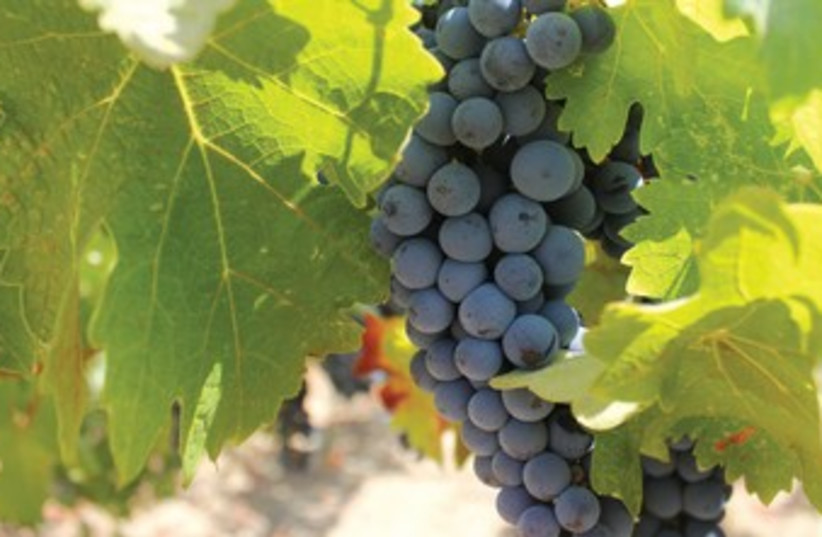 Grapes 370 (photo credit: George Medovoy)