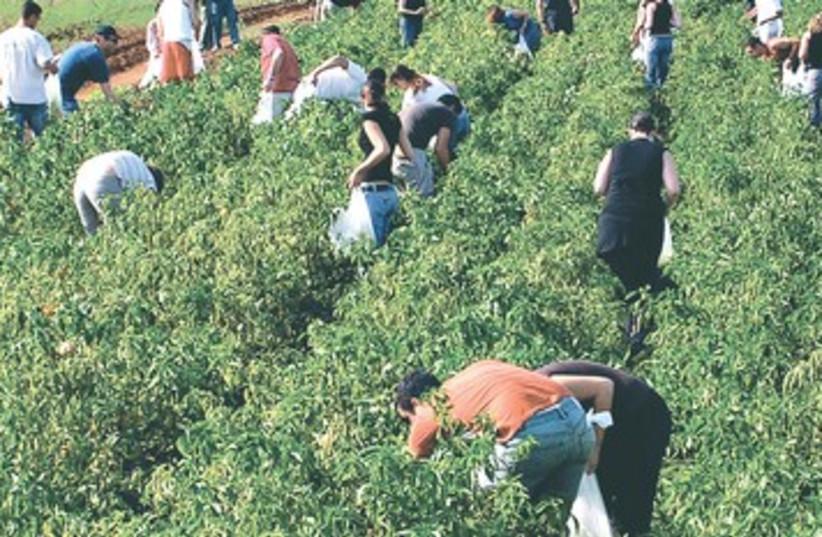 Leket volunteers pick crops 390 (photo credit: Courtesy)