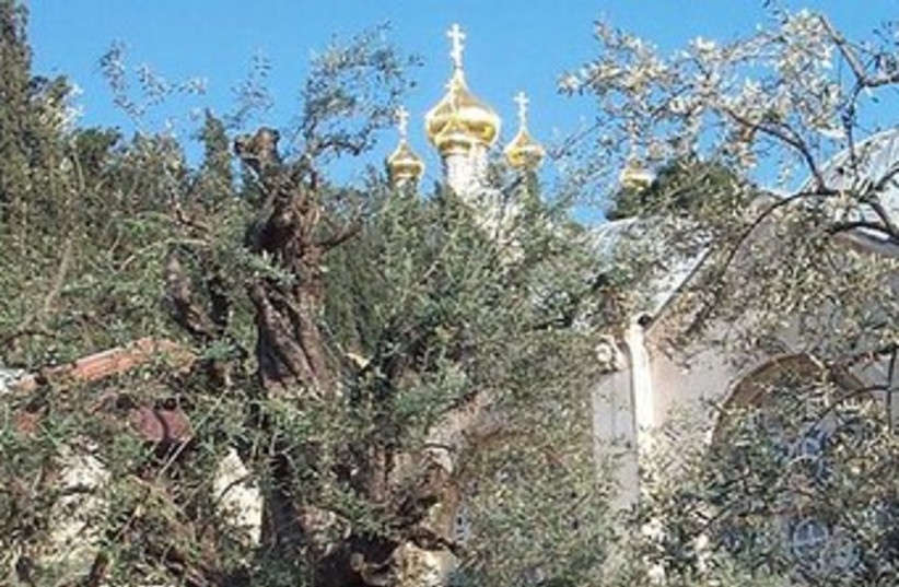 Garden of Gethsemane 370 (photo credit: Wikimedia Commons)