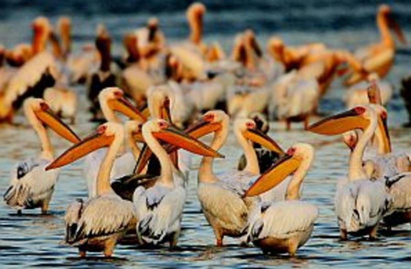 many birds lake 298.88 (photo credit: AP)