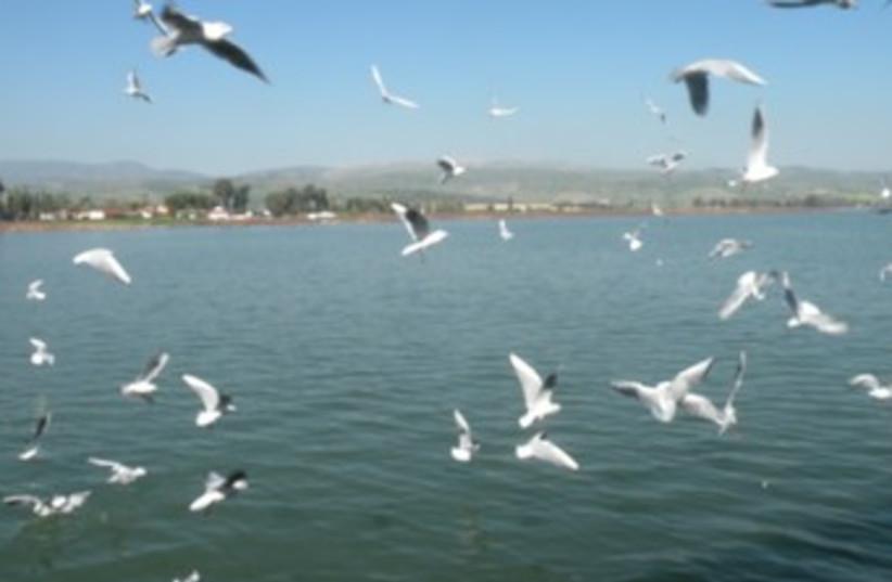 Black-headed gulls over the kinnere (photo credit: Sharon Udasin)