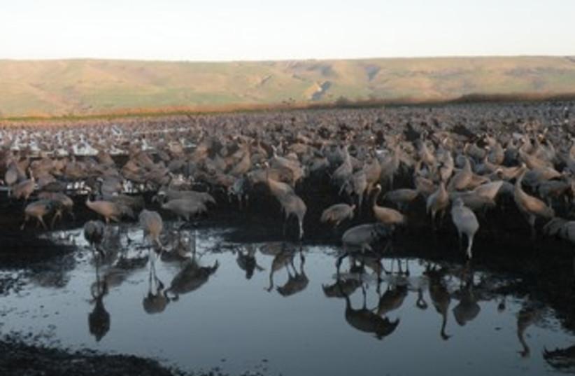 35,000 cranes at Agamon Lake in Hula valley 370 (photo credit: Sharon Udasin)