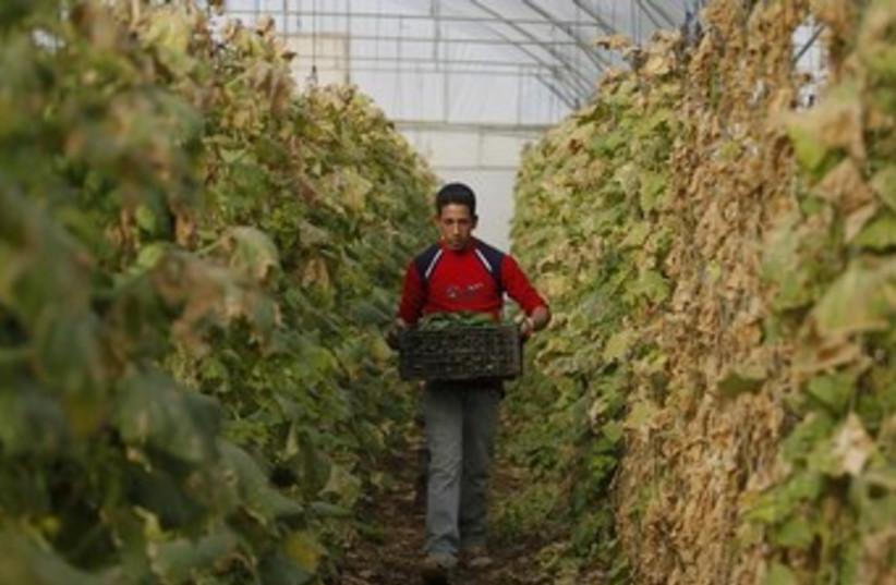 Palestinian greenhouse worker 370 (photo credit: REUTERS/Ammar Awad)