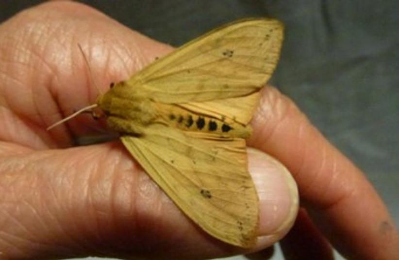 Isabella Tiger Moth 370 (photo credit: Liti Haramaty)