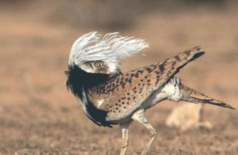 Emirati, Israeli org. to collaborate on Houbara bird conservation