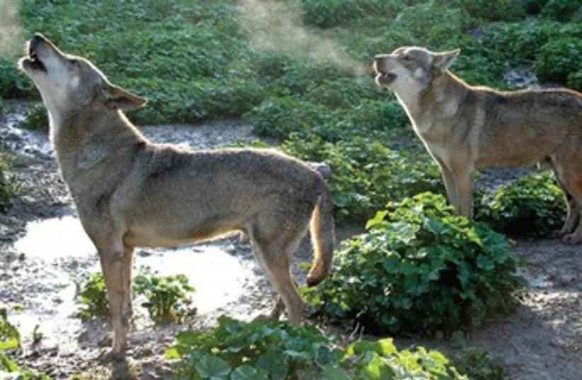Moshe Alpert's 'A Wolf's Tale' (photo credit: Courtesy)