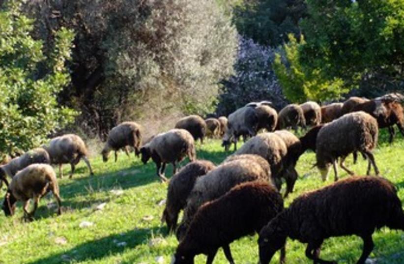 sheep grazing (photo credit: Amit Bar-Yosef)