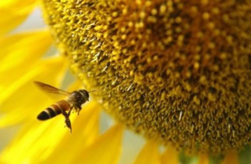 allergies pollen 370 (photo credit: reuters)