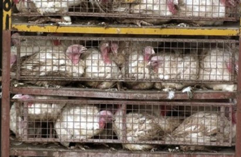Chickens at Solgowek slaughterhouse 370 (photo credit: Courtesy Kolbotek.)