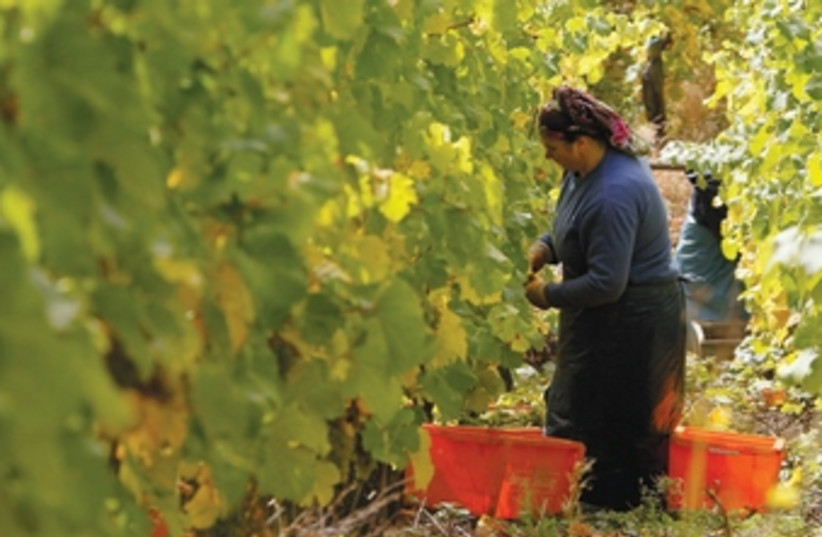 Riesling grapes are harvested in a vineyard in Rhoendorf nea (photo credit: (Wolfgang Rattay/Reuters ))