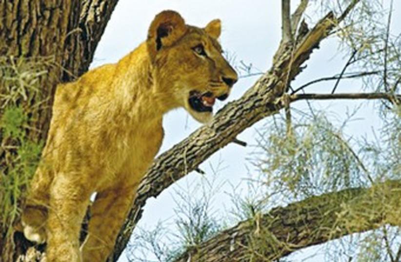 A lioness at the Zoological Center Tel Aviv-Ramat Gan. 370 (photo credit: Tibor Jager)