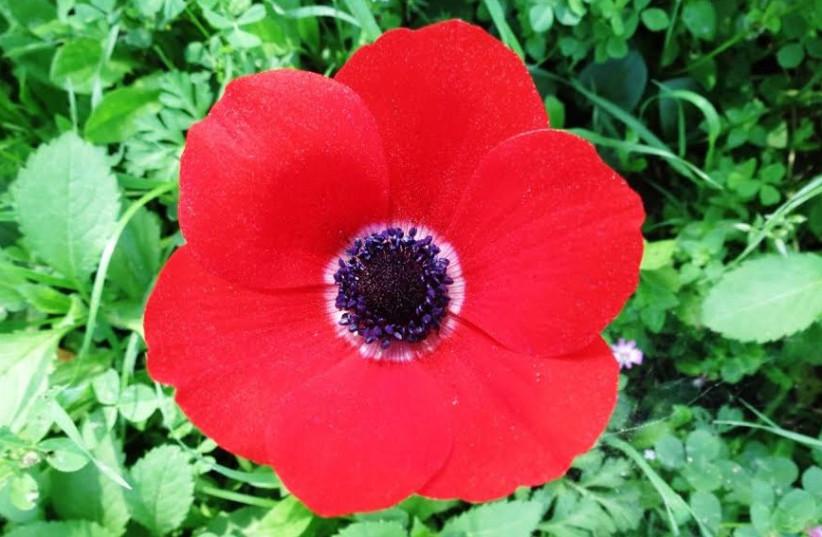 Calanit (anemone) flower 370 (photo credit: Dov Greenblatt)
