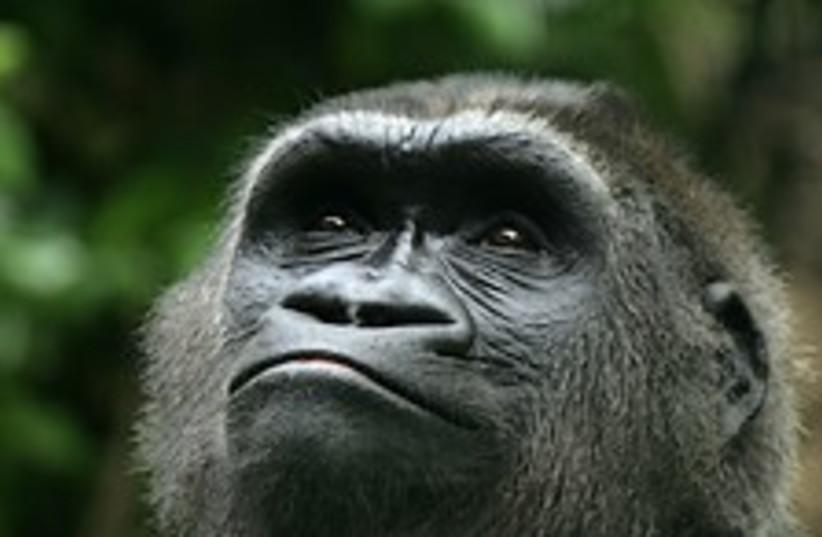 gorilla 224.88 (photo credit: Courtesy Great Ape Project)