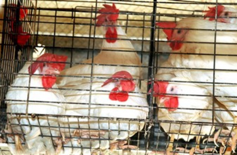 Chickens (photo credit: courtesy of Anonymous for Animal Rights)