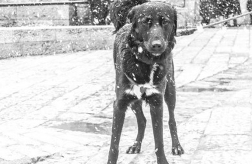 Dog in snow , Jerusalem  390 (photo credit: Nechama Perton)