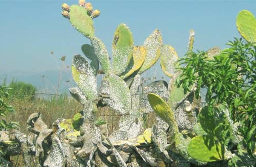 The prickly pear cactus is endangered (photo credit: Professor Zvika Mendel, The Volcani Center)
