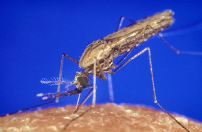 Malaria mosquito. [File] (photo credit: Wikimedia Commons)