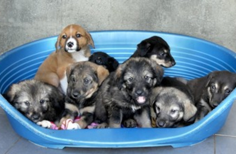 Abandoned puppies. (photo credit: Courtesy SPCA )