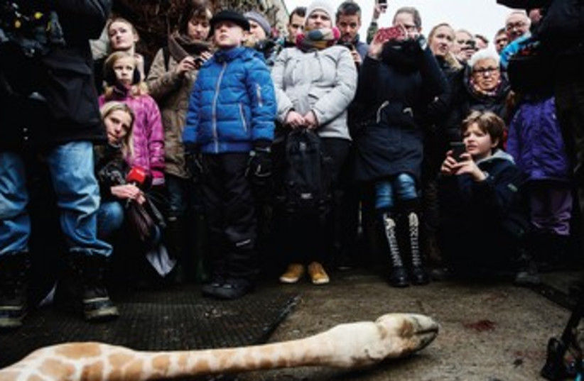 A crowd of people look on at the Copenhagen zoo after the giraffe Marius was killed. (photo credit: REUTERS)