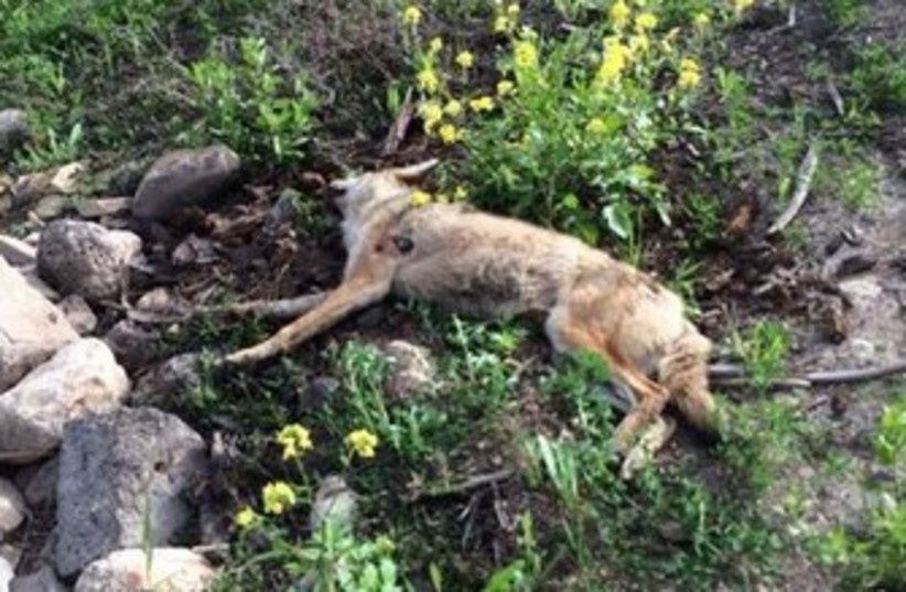 Dead wolf near Tiberias, March 6, 2014 (photo credit: YOSSI OKNIN)