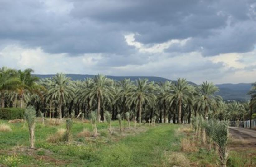 Le Kibboutz Kinneret est spécialisé dans la culture des palmiers dattiers (photo credit: MILKA KAHN)