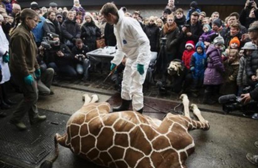 Giraffe killed at Copenhagen Zoo (photo credit: REUTERS)