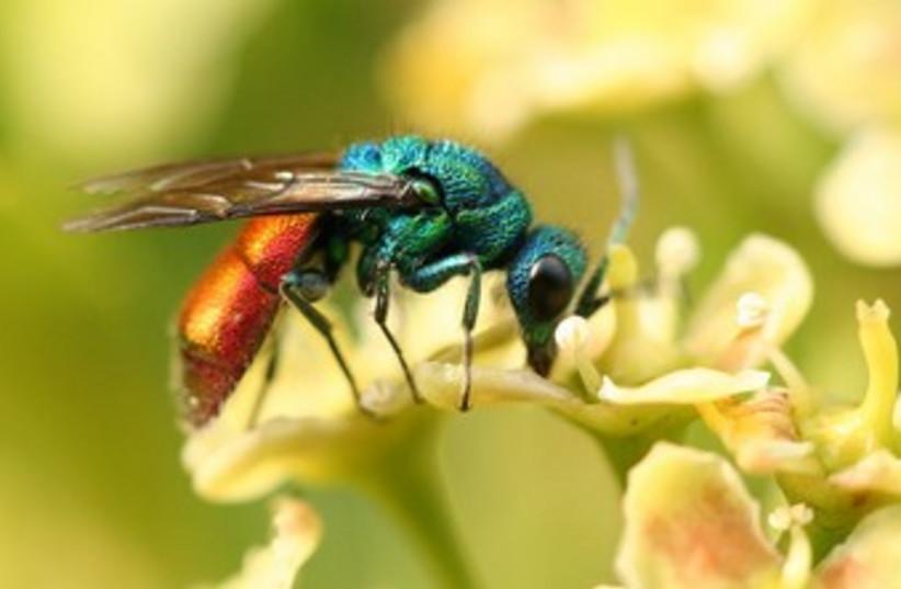 Jewel wasp. (photo credit: Wikimedia Commons)