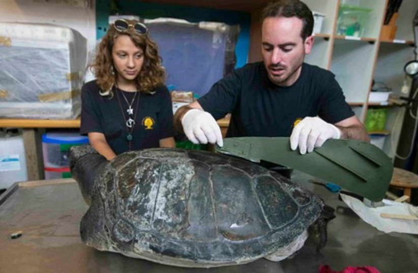 Artificial fin put on Hofesh the turtle (photo credit: REUTERS)