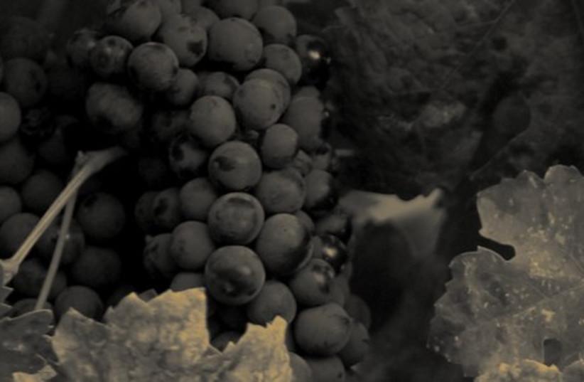 Grapes (photo credit: Courtesy)