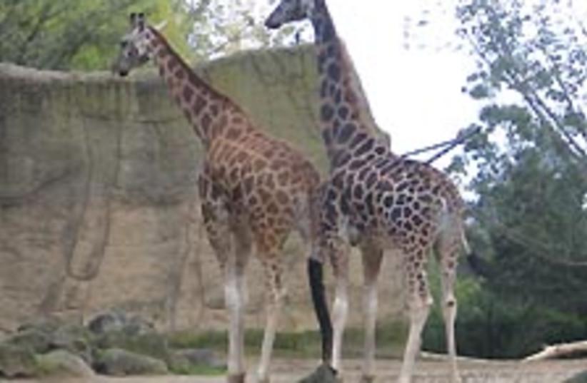 giraffes 224.88 (photo credit: Ariel Jerozolimki)