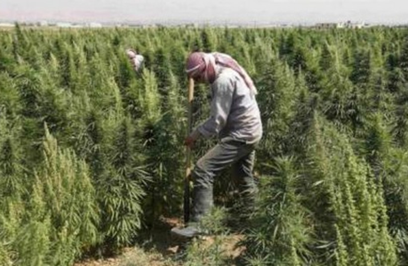 A man works in a field of cannabis at Hermel, Bekaa  (photo credit: REUTERS)