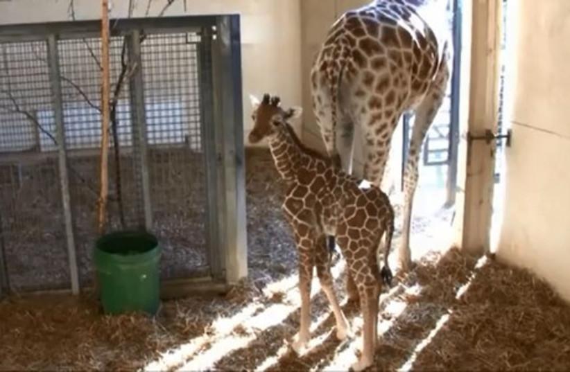 Jengo the giraffe as a calf.  (photo credit: YOUTUBE SCREENSHOT)