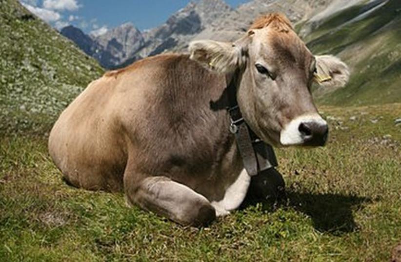 Cattle (photo credit: Wikimedia Commons)