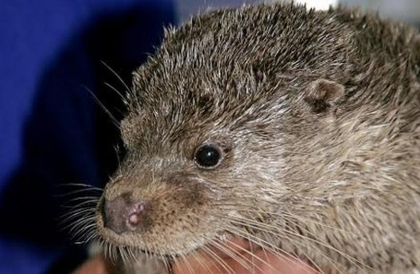 Israel's otter population are facing grave endangerment. (photo credit: EYAL BARTOV)