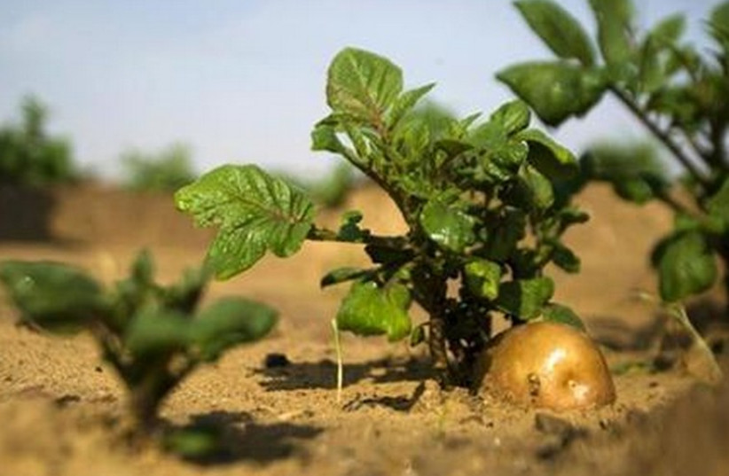 A potato grows in a field irrigated by recycled waste water in Kibbutz Magen in southern Israel. (photo credit: REUTERS)
