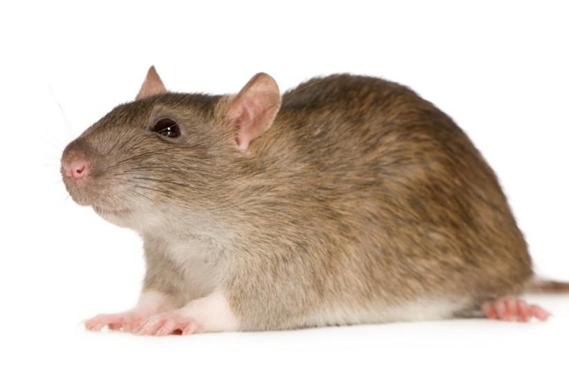 A mouse [illustrative]. (photo credit: INGIMAGE)