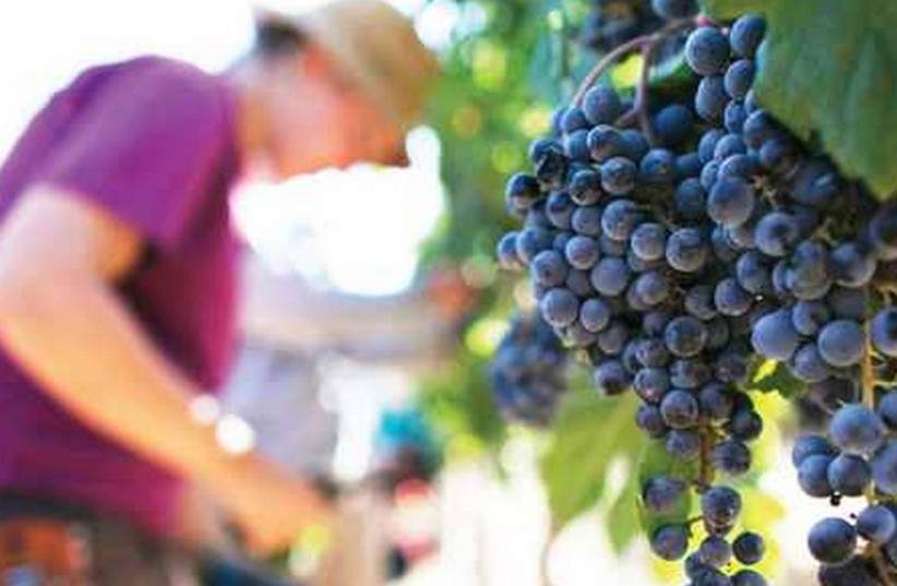 farmer with grapes  (photo credit: courtesy)