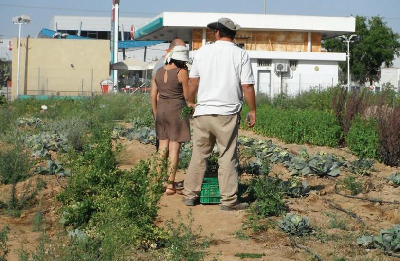 Israel's first commercial urban farm blooms in Beersheba. (photo credit: RAFFI WINEBURG)