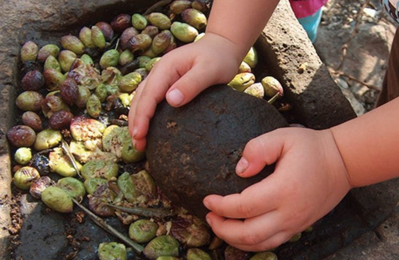 Olives are smashed with a rock during a children's olive-pressing workshop. (photo credit: SOPHIE MEKULADA)