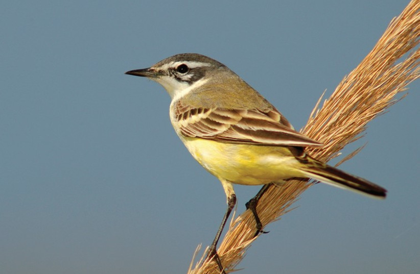 Yellow Wagtail bird (photo credit: ITSIK MAROM)