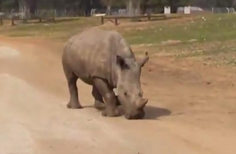 Rihanna the rhino at the Safari Zoo (photo credit: RAMAT GAN SAFARI)