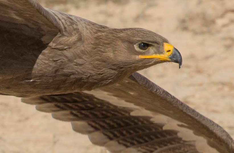 Eagle migration to Israel (photo credit: AMIR BEN DOV)