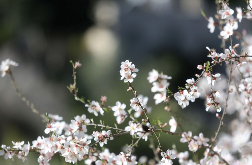 An almond tree blossoms in Jerusalem's Ein Kerem neighborhood (photo credit: MARC ISRAEL SELLEM/THE JERUSALEM POST)