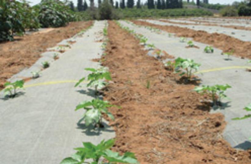 castor plants 88 248 (photo credit: Courtesy)